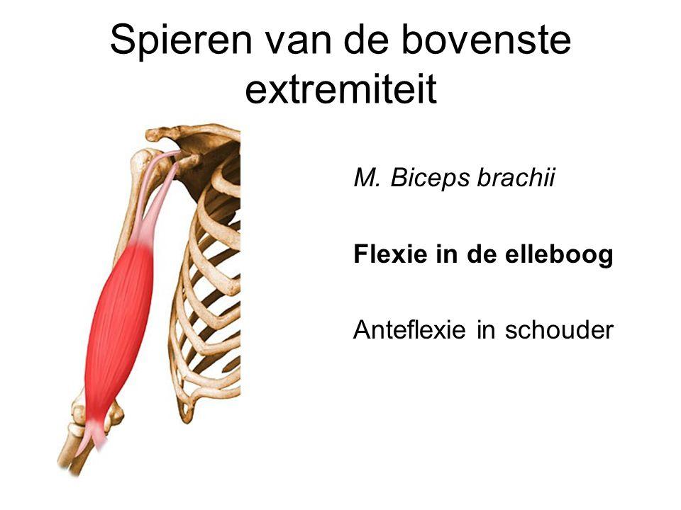 Spieren van de bovenste extremiteit M. Biceps brachii Flexie in de elleboog Anteflexie in schouder