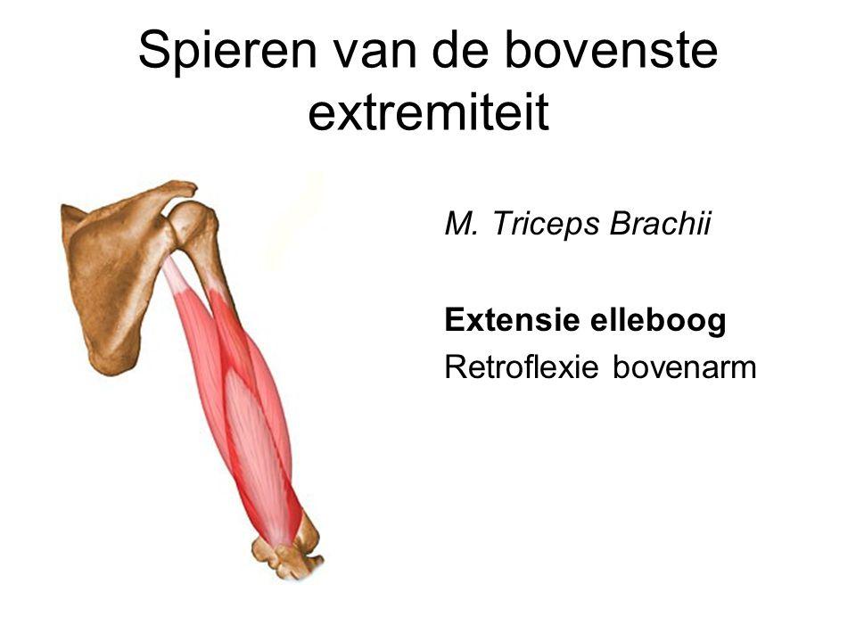 Spieren van de bovenste extremiteit M. Triceps Brachii Extensie elleboog Retroflexie bovenarm