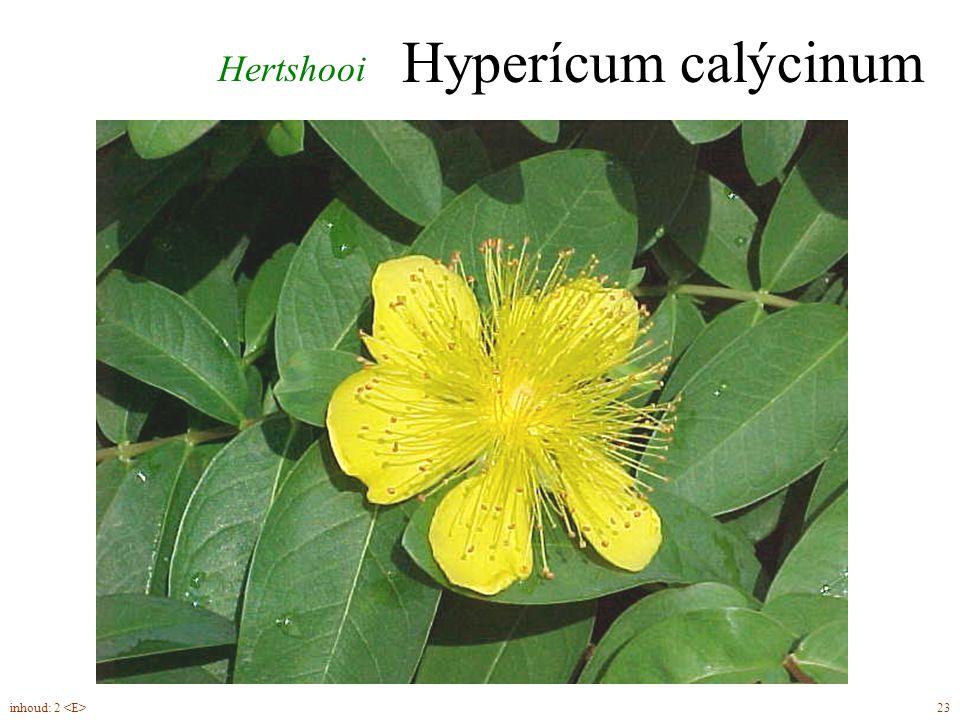 groenblijvend Ilex aquifolium blad, struik