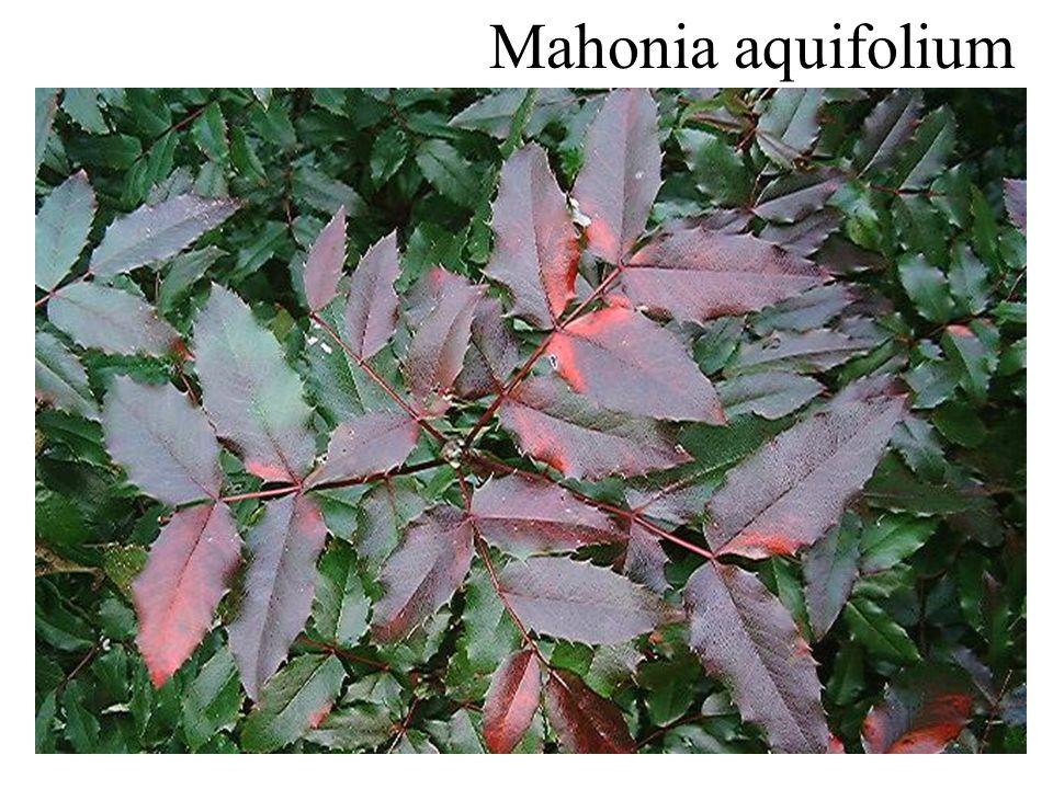 Mahonia bealei groenblijvend groter topblaadje gele basisvlek opstaande bloeiwijze
