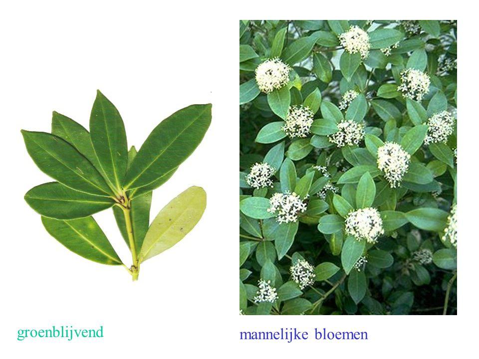 Skimmia japonica vruchten mannelijke bloemen vrouwelijke bloemen