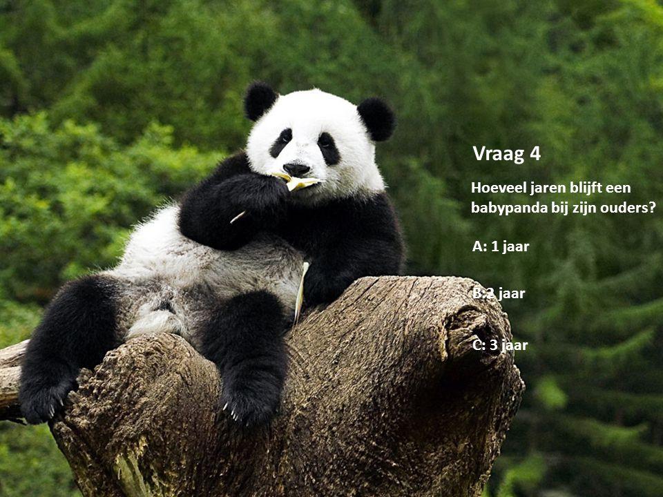 Copyright by Lisanne van Oeveren Vraag 4 Hoeveel jaren blijft een babypanda bij zijn ouders? A: 1 jaar B:2 jaar C: 3 jaar