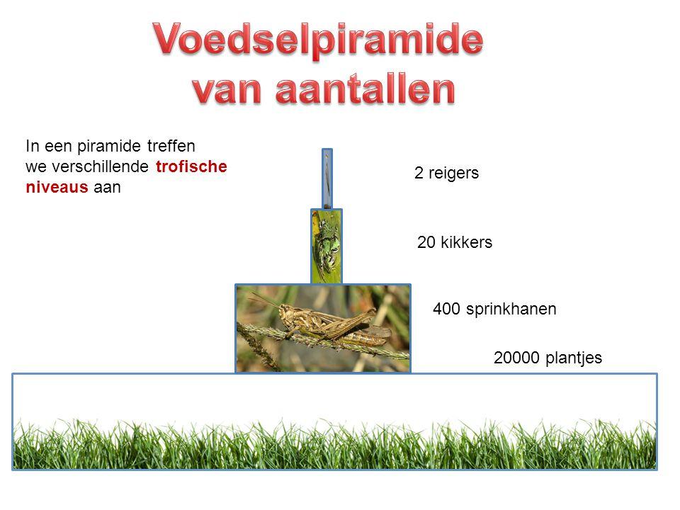 20000 plantjes 400 sprinkhanen 20 kikkers 2 reigers In een piramide treffen we verschillende trofische niveaus aan