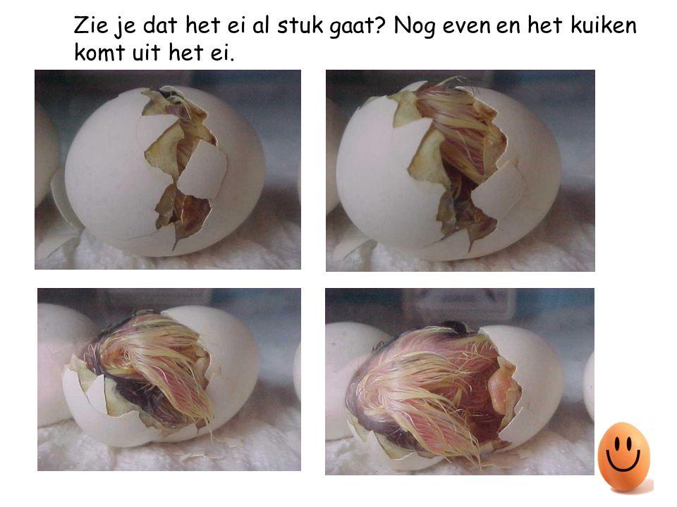 In het ei groeit nu een kuiken.Na een tijdje wil het kuiken uit het ei.
