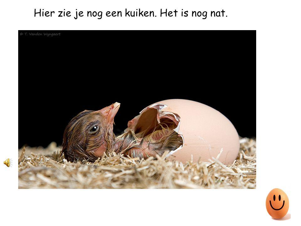Eindelijk is het kuikentje uit het ei.