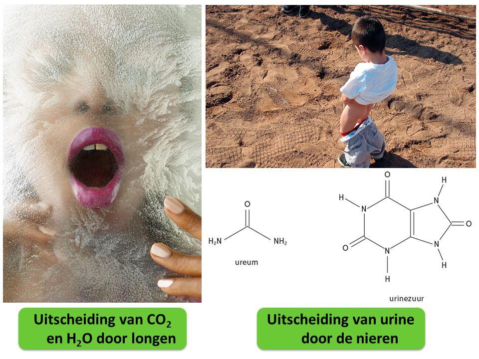 Uitscheiding van CO 2 en H 2 O door longen Uitscheiding van urine door de nieren