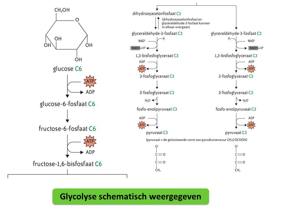 Glycolyse schematisch weergegeven
