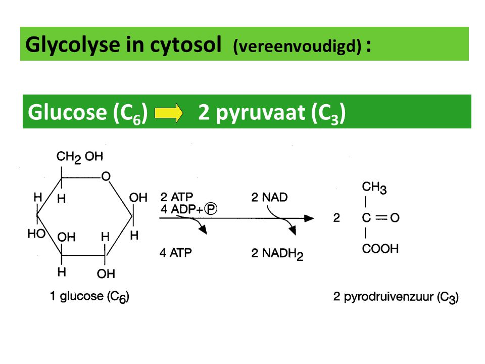 Glycolyse in cytosol (vereenvoudigd) : Glucose (C 6 ) 2 pyruvaat (C 3 ) anaëroob!!