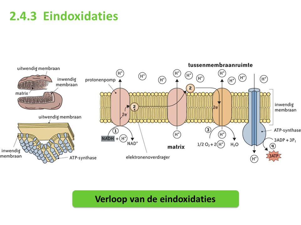 2.4.3 Eindoxidaties Verloop van de eindoxidaties