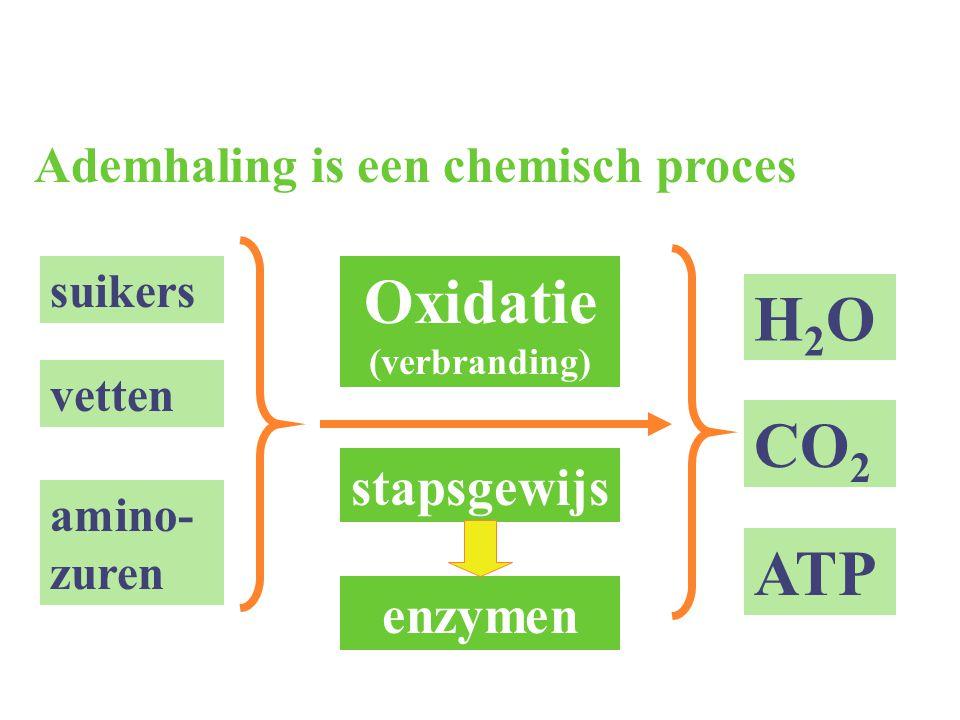 2.4.2 Citroenzuurcyclus Vorming van acetyl co-enzym A door decarboxylatie  voorbereidende reactie voor Krebcyclus (in matrix van mitochondrion) Decarboxylatie van pyruvaat