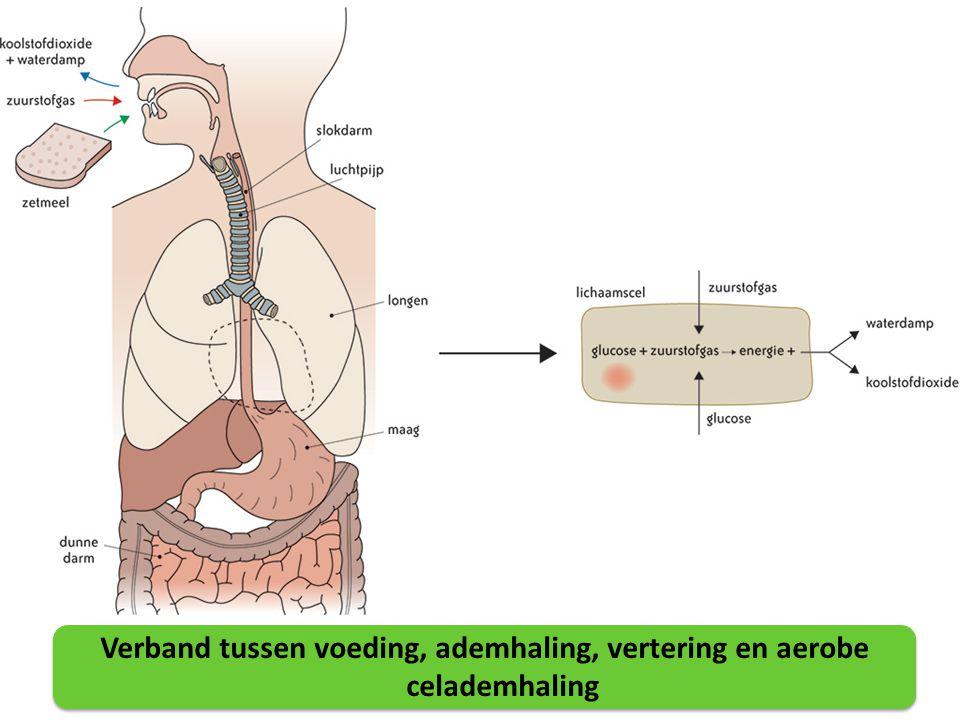 Verband tussen voeding, ademhaling, vertering en aerobe celademhaling
