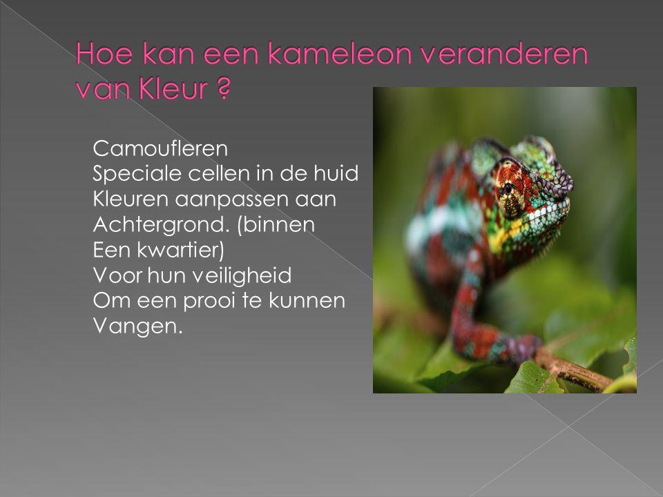 Camoufleren Speciale cellen in de huid Kleuren aanpassen aan Achtergrond. (binnen Een kwartier) Voor hun veiligheid Om een prooi te kunnen Vangen.