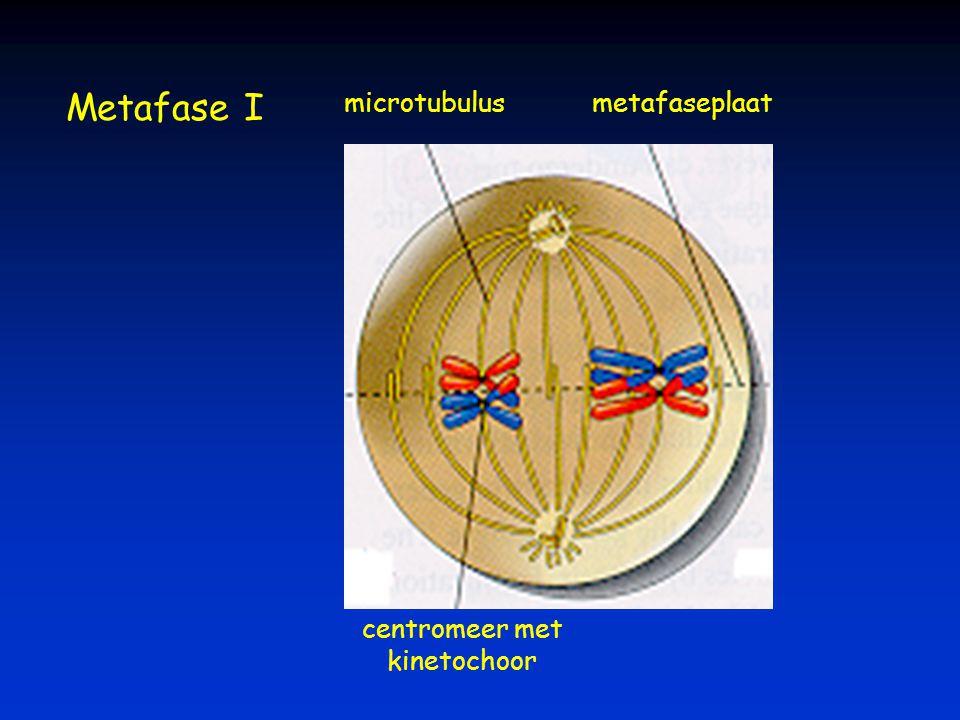 centromeer met kinetochoor microtubulusmetafaseplaat Metafase I