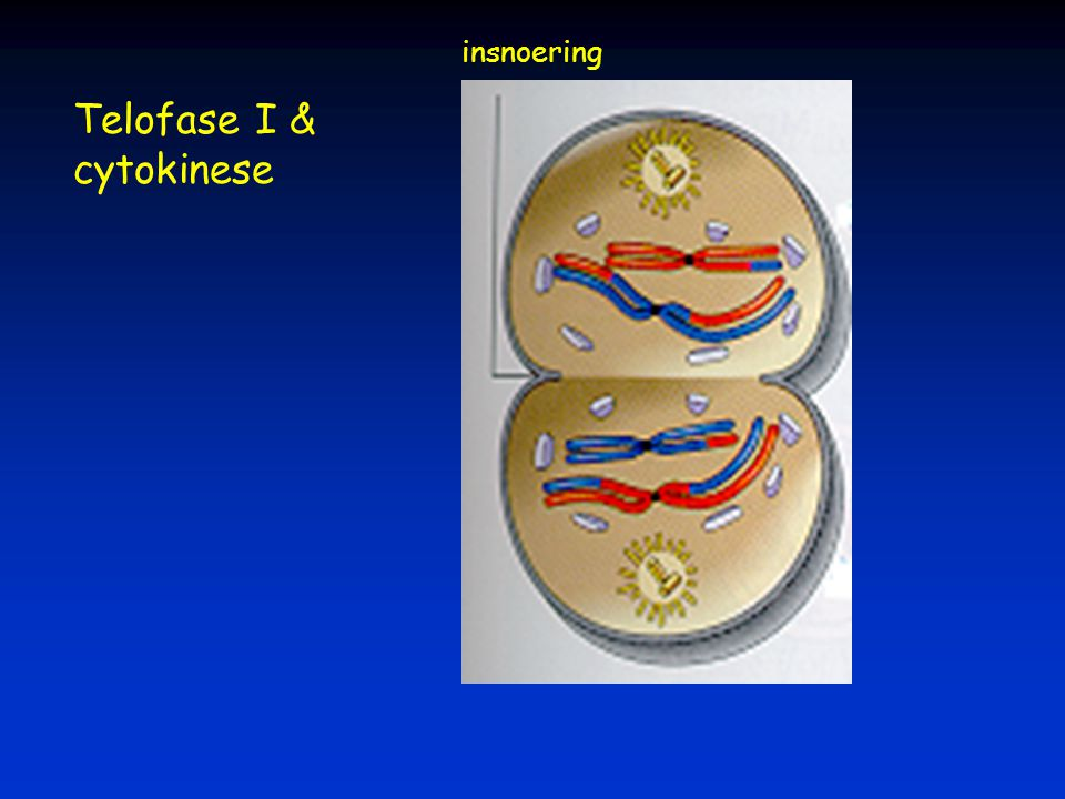 insnoering Telofase I & cytokinese