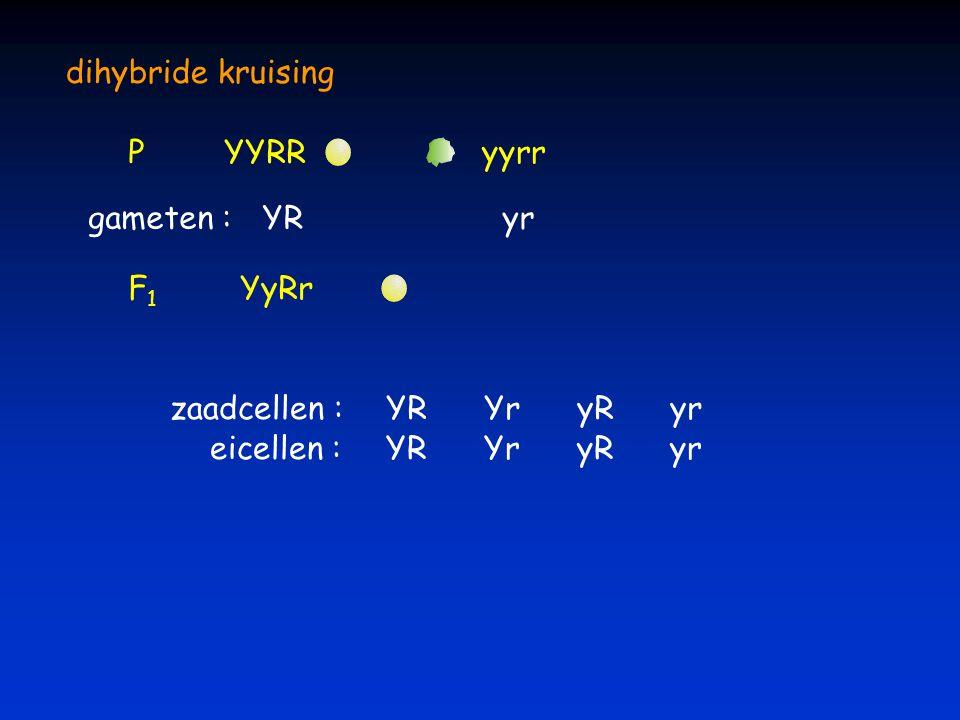 dihybride kruising PYYRRyyrr YRyr gameten : F1F1 YyRr eicellen : zaadcellen :YR Yr yR yr