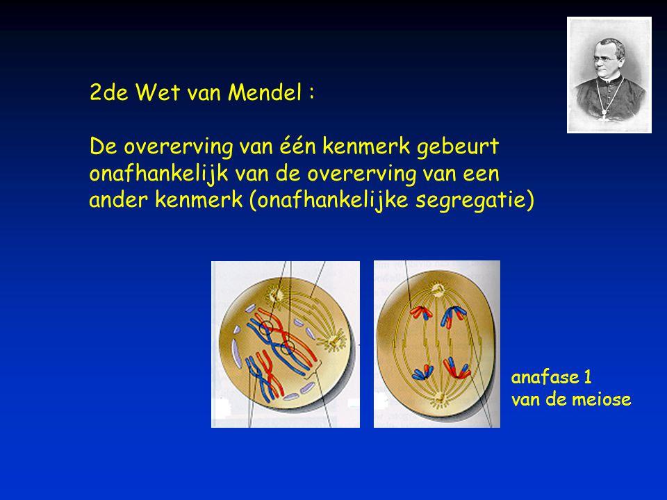 2de Wet van Mendel : De overerving van één kenmerk gebeurt onafhankelijk van de overerving van een ander kenmerk (onafhankelijke segregatie) anafase 1