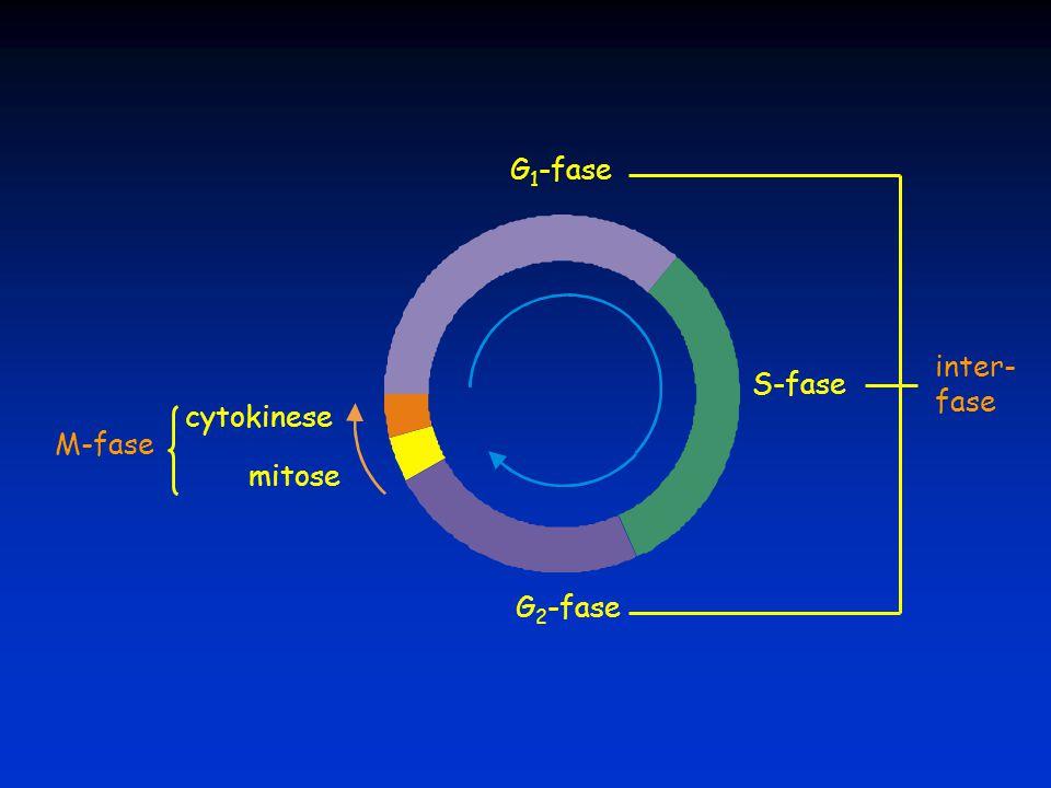 G 1 -fase S-fase G 2 -fase mitose cytokinese M-fase inter- fase