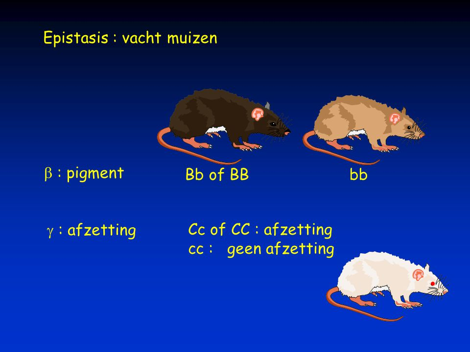 Epistasis : vacht muizen Bb of BBbb  : pigment  : afzettingCc of CC : afzetting cc : geen afzetting