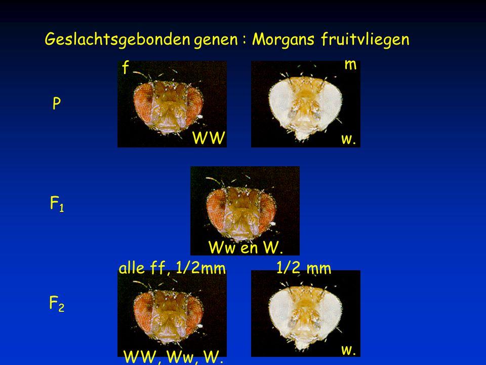 Geslachtsgebonden genen : Morgans fruitvliegen F1F1 P F2F2 alle ff, 1/2mm1/2 mm m f WWw. Ww en W. WW, Ww, W. w.