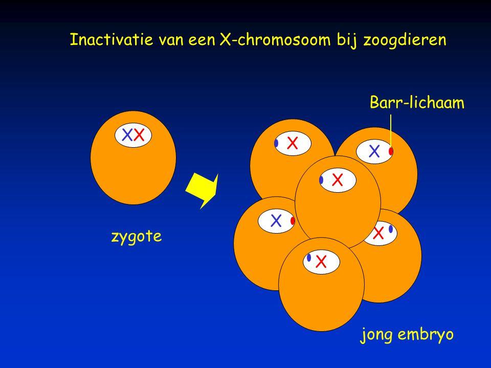 Inactivatie van een X-chromosoom bij zoogdieren X X X X X X X zygote jong embryo Barr-lichaam
