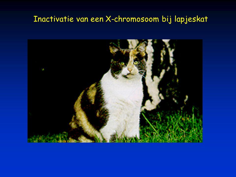 Inactivatie van een X-chromosoom bij lapjeskat
