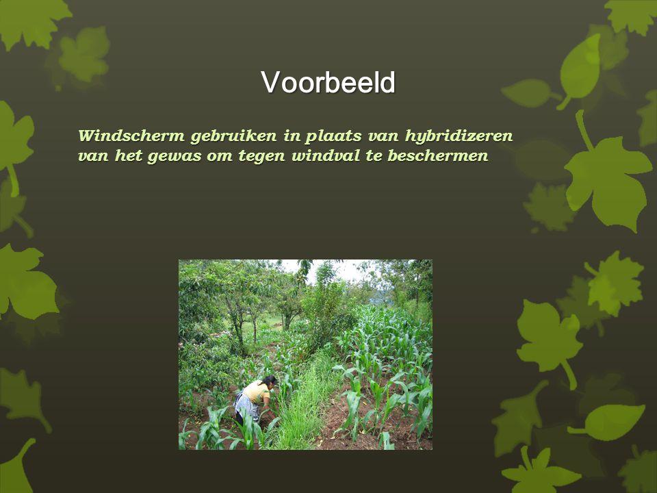 Voorbeeld Windscherm gebruiken in plaats van hybridizeren van het gewas om tegen windval te beschermen