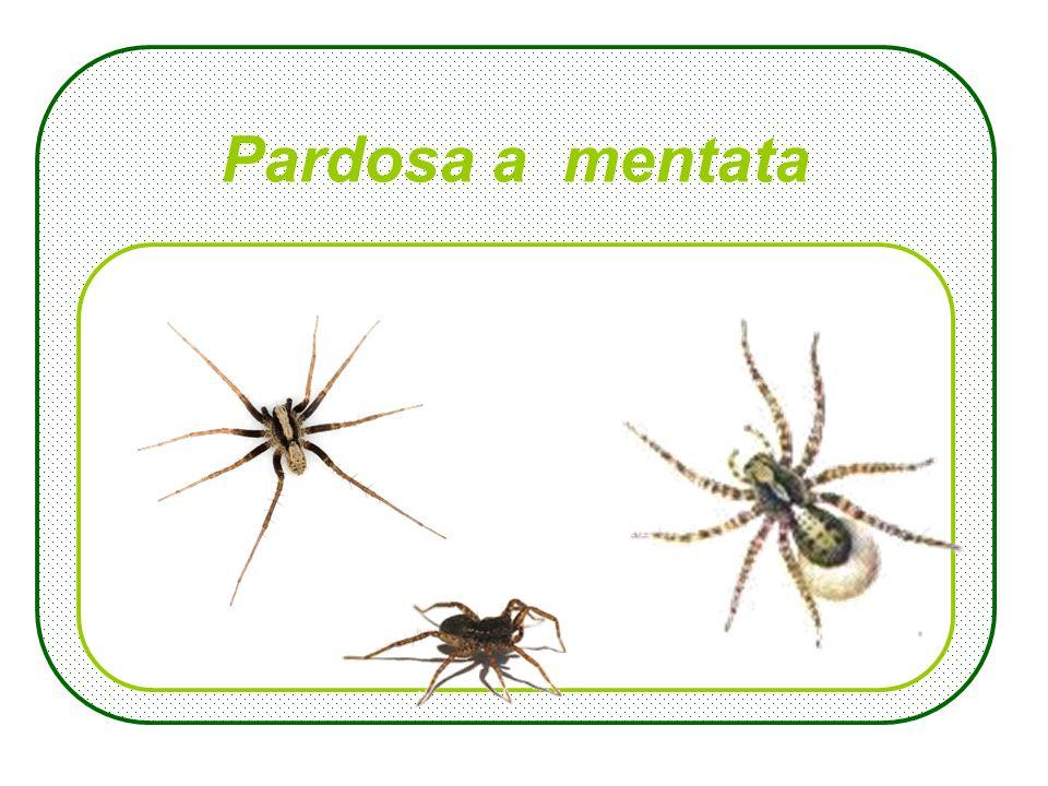 Larus argentatus