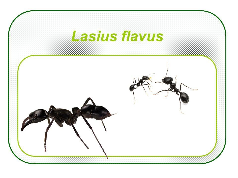 Lasius flavus