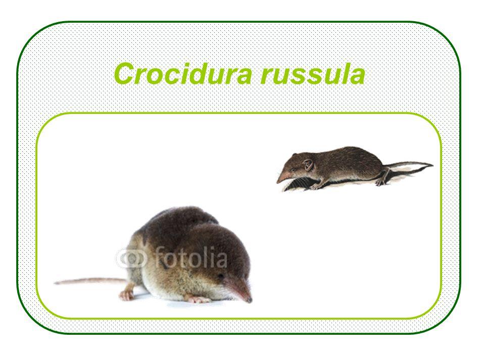Crocidura russula