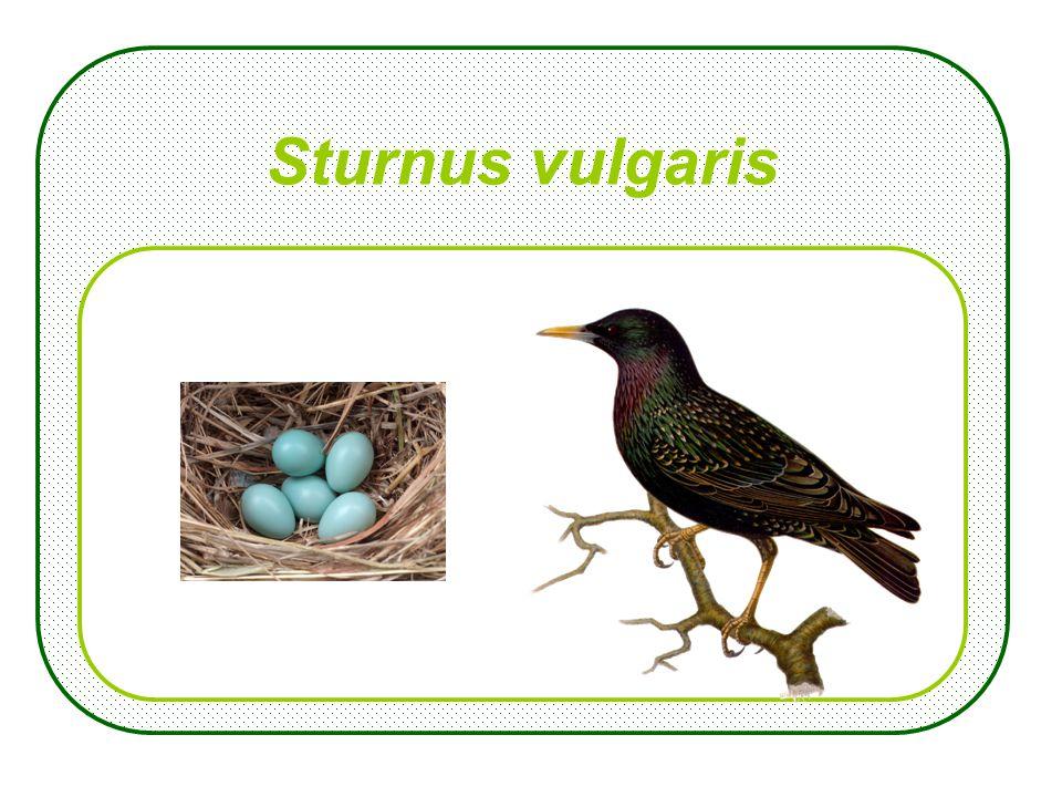 Sturnus vulgaris