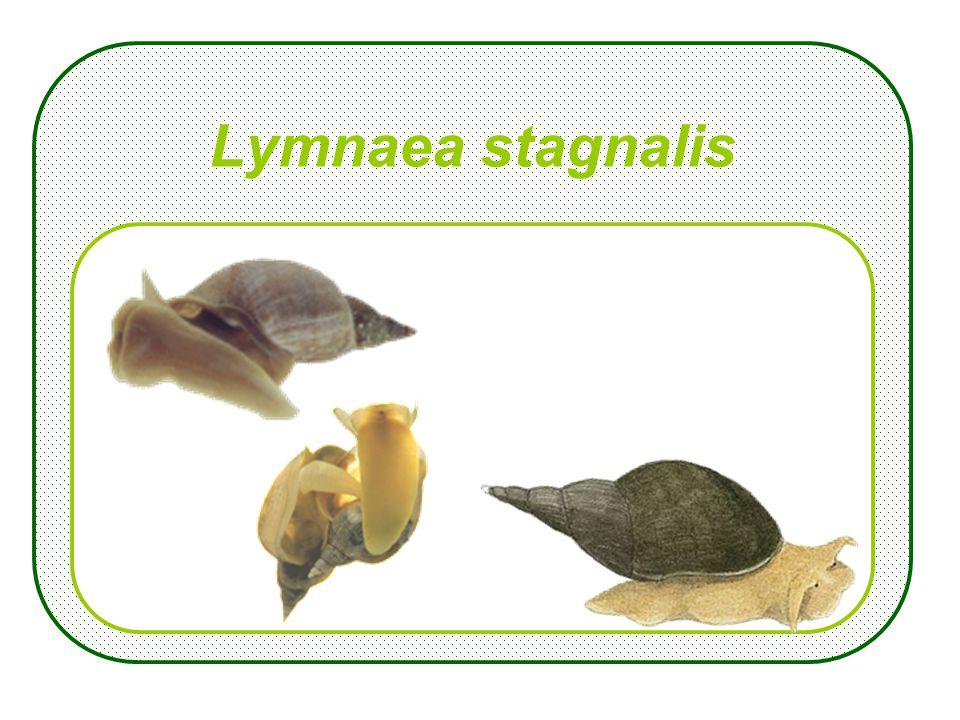 Sciurus vulgaris