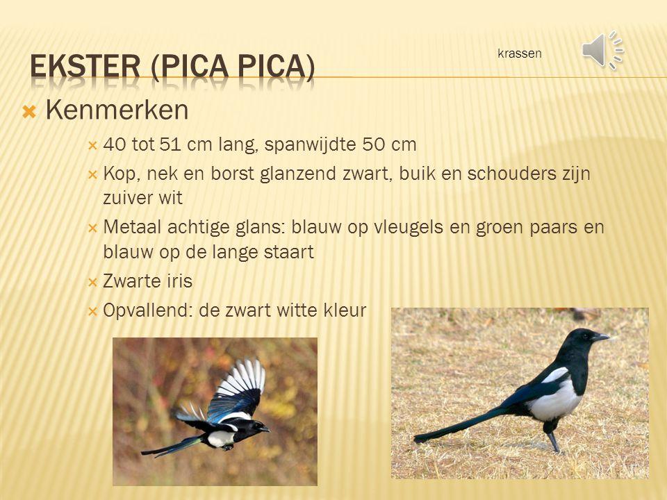 3 februari 2014 – Joris van Lent Ekster -- Vlaamse gaai -- gierzwaluw