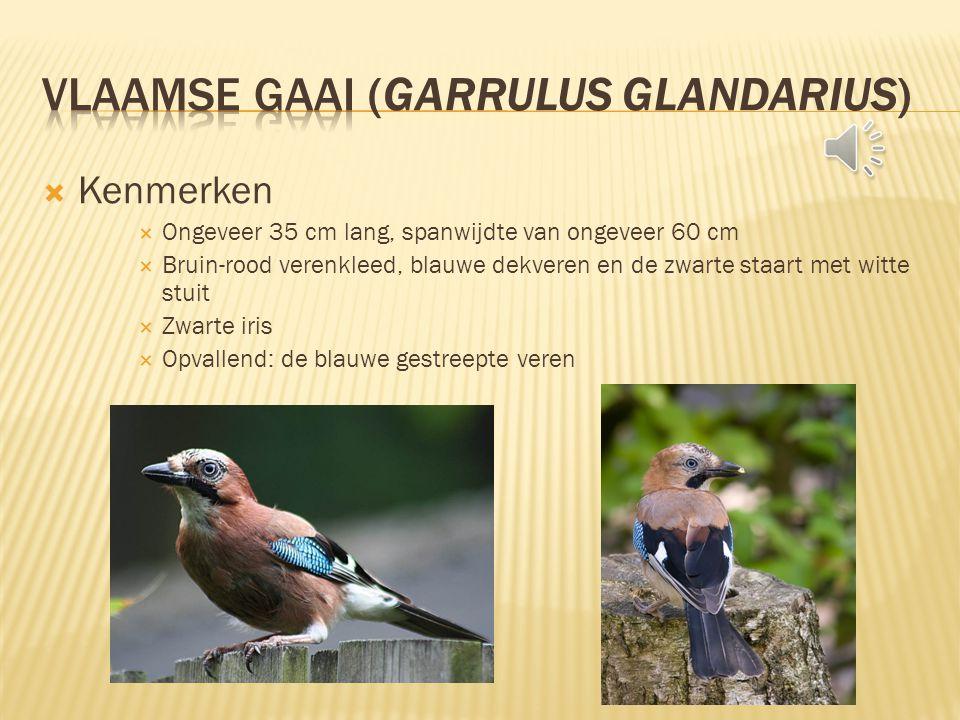  Kenmerken  Ongeveer 35 cm lang, spanwijdte van ongeveer 60 cm  Bruin-rood verenkleed, blauwe dekveren en de zwarte staart met witte stuit  Zwarte iris  Opvallend: de blauwe gestreepte veren