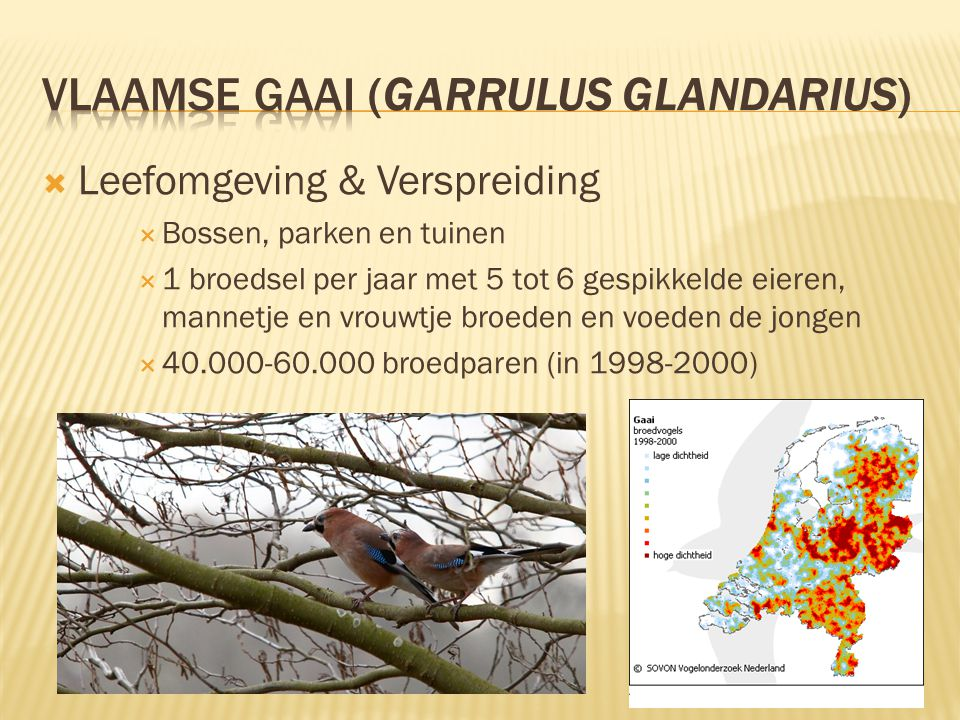  Leefomgeving & Verspreiding  Bossen, parken en tuinen  1 broedsel per jaar met 5 tot 6 gespikkelde eieren, mannetje en vrouwtje broeden en voeden de jongen  40.000-60.000 broedparen (in 1998-2000)
