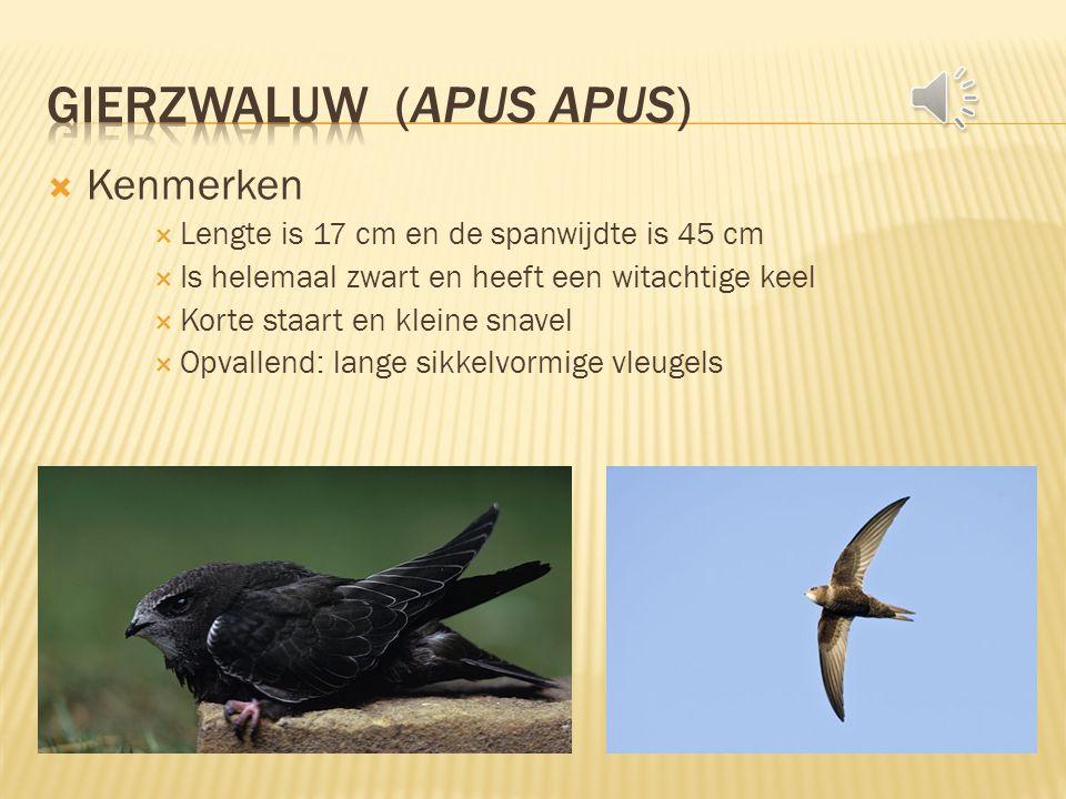  Kenmerken  Lengte is 17 cm en de spanwijdte is 45 cm  Is helemaal zwart en heeft een witachtige keel  Korte staart en kleine snavel  Opvallend: lange sikkelvormige vleugels