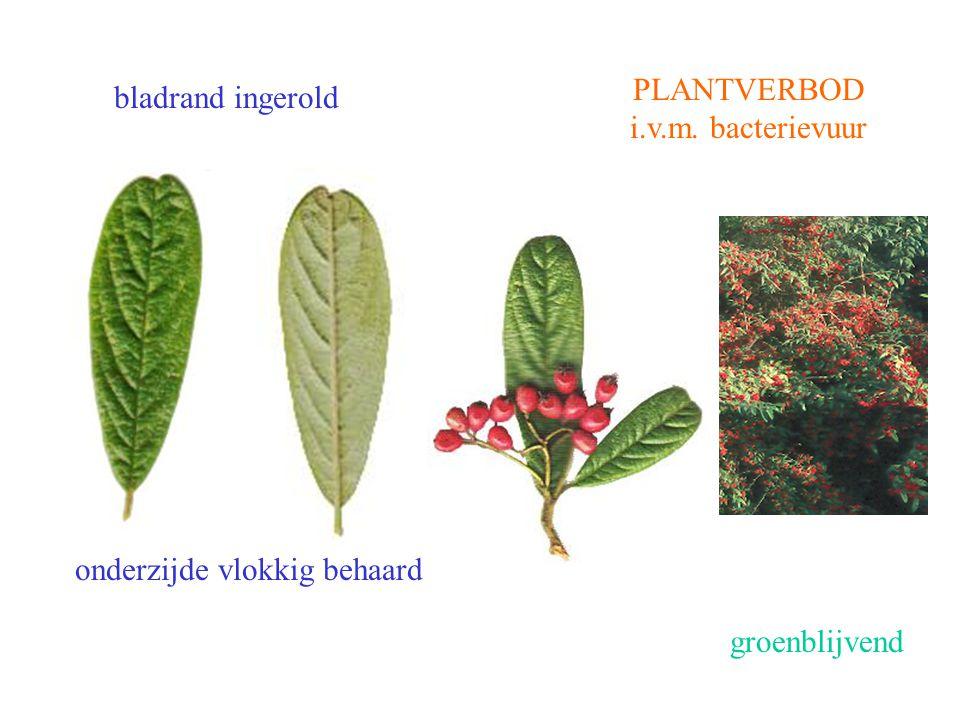 onderzijde vlokkig behaard PLANTVERBOD i.v.m. bacterievuur bladrand ingerold groenblijvend Cotoneaster salicifolius blad, vrucht