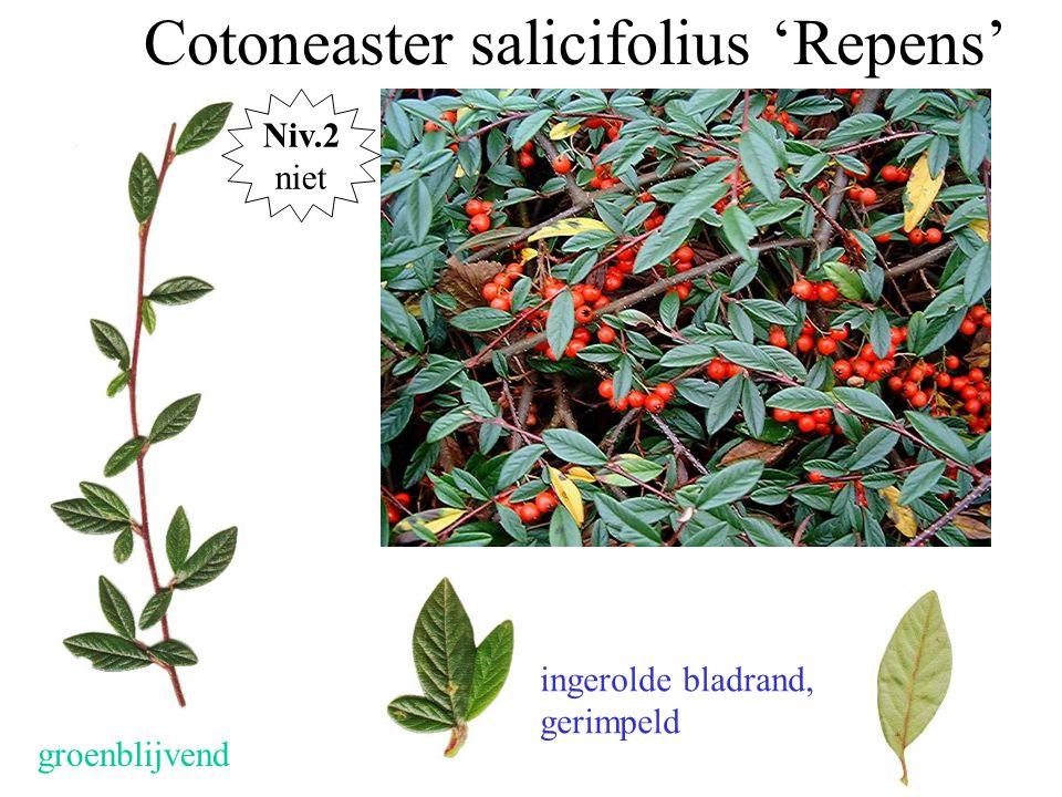 Cotoneaster salicifolius 'Repens' groenblijvend ingerolde bladrand, gerimpeld Niv.2 niet