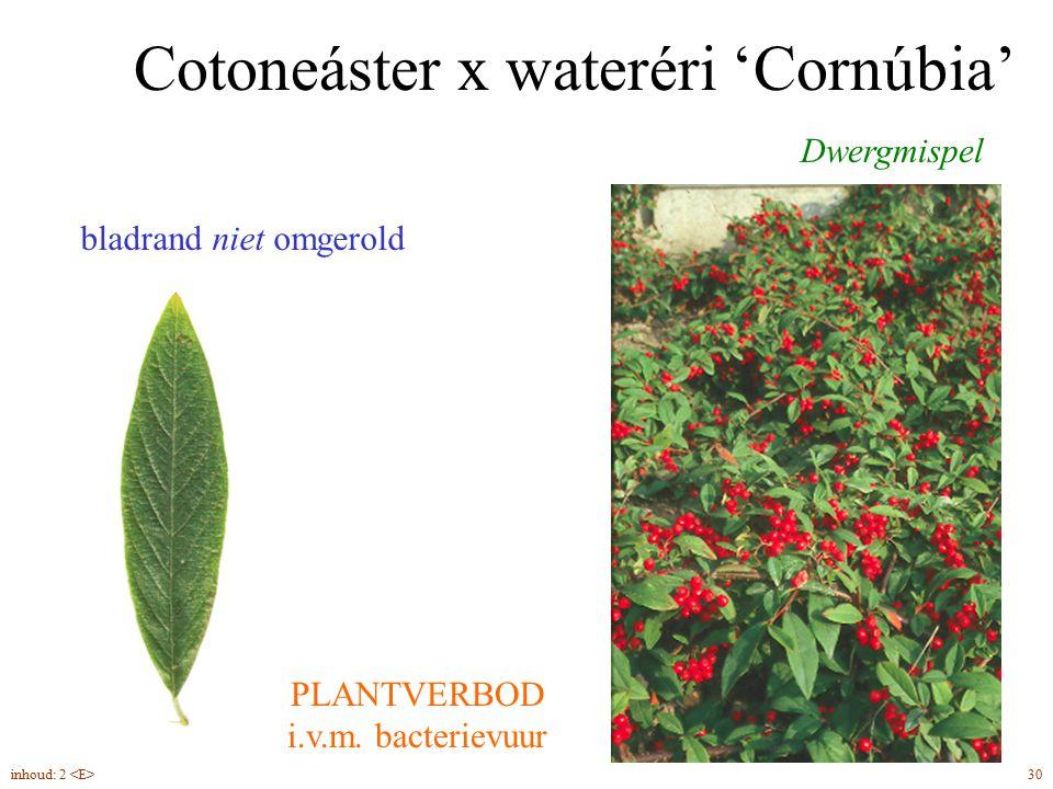 Cotoneáster x wateréri 'Cornúbia' Dwergmispel bladrand niet omgerold PLANTVERBOD i.v.m. bacterievuur 30inhoud: 2