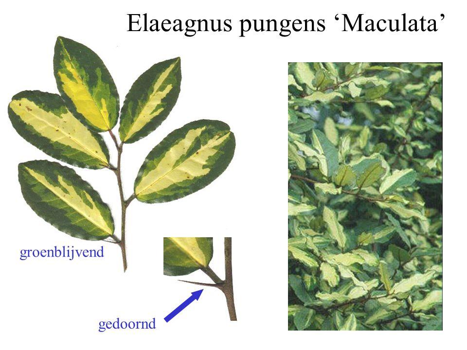 Elaeagnus pungens 'Maculata' gedoornd groenblijvend