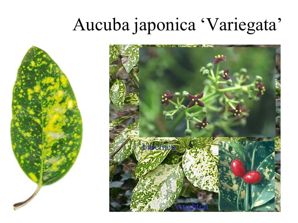 5-talig Aucuba japonica 'Variegata' bloemen vruchten