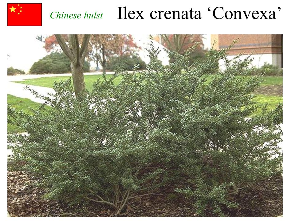 Ilex crenata 'Convexa' zwarte bessen Chinese hulst