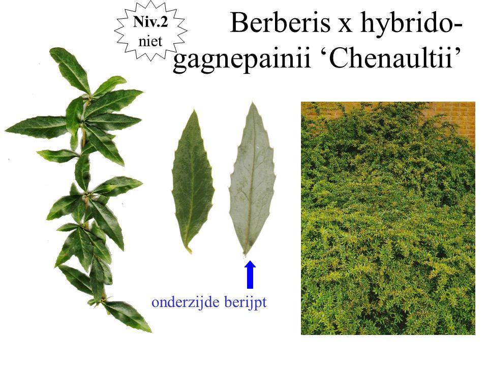 Berberis x hybrido- gagnepainii 'Chenaultii' onderzijde berijpt Niv.2 niet