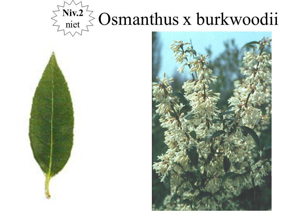 Osmanthus x burkwoodii Niv.2 niet