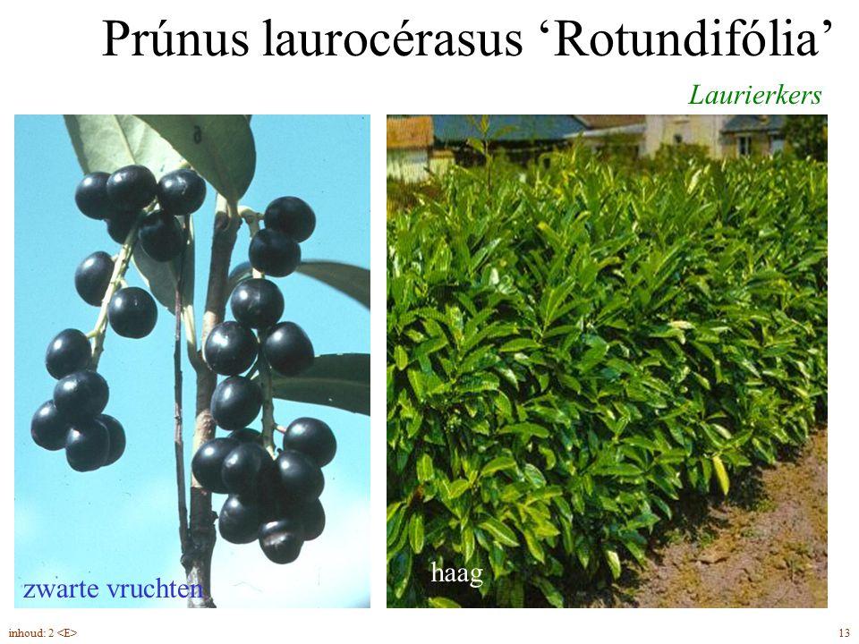 Prúnus laurocérasus 'Rotundifólia' Laurierkers groenblijvend haag zwarte vruchten 13inhoud: 2