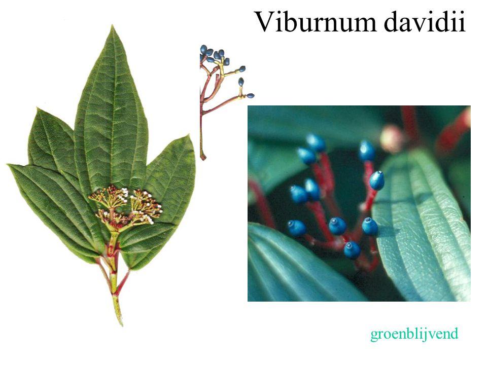 Viburnum davidii groenblijvend drienervig