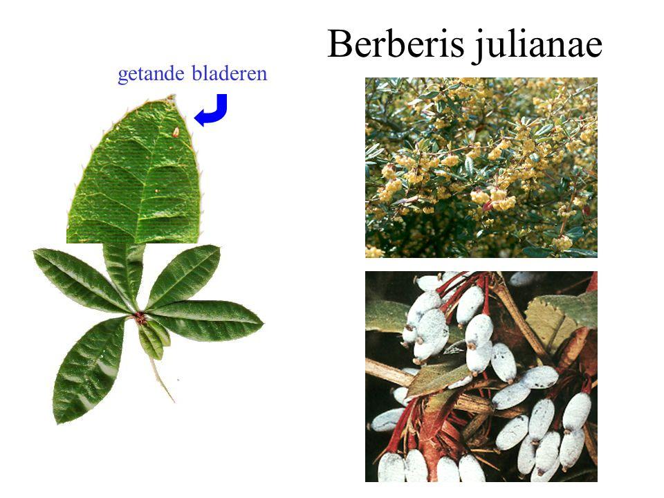 groenblijvend mannelijke bloemen Skimmia japonica blad, mnl. bloei