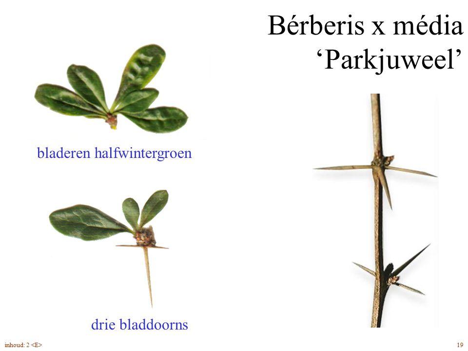 Bérberis x média 'Parkjuweel' bladeren halfwintergroen drie bladdoorns 19inhoud: 2