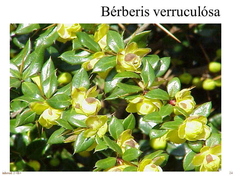 Bérberis verruculósa groenblijvend gele twijg met wratten 24inhoud: 2