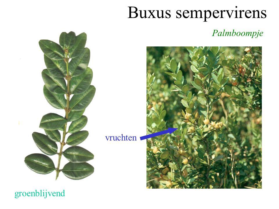 Buxus sempervirens Palmboompje groenblijvend vruchten