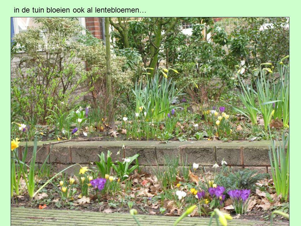 in de tuin bloeien ook al lentebloemen…
